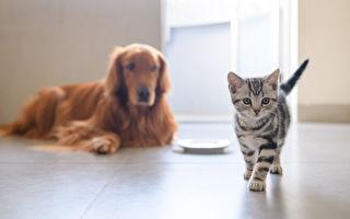 貓兒劍拔弩張 金毛和平大使一招制止鬥毆