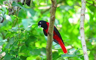 组图:台湾阿里山生态之美 鸟类缤纷多彩