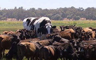 近2米高大肉牛沒處宰 「可幸福地活下去」