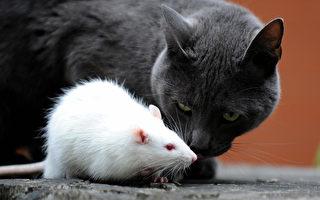 这只猫去抓老鼠 反倒被追得落荒而逃