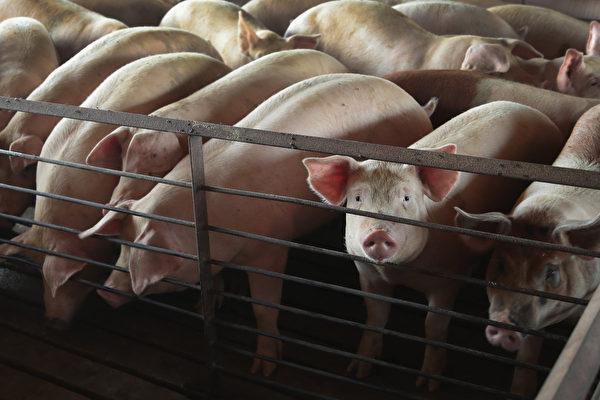 大陸非洲豬瘟疫情已致17省市淪陷。近日豬飼料被驗出非洲豬瘟病毒。 (Photo by Scott Olson/Getty Images)