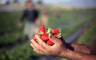 维州迎来草莓产季 种植商加强安保保护作物