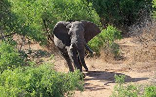 非洲大象再次出现无象牙的趋势