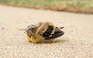 幼鸟急着想飞掉到地上 好心爷爷捧回树枝上