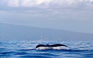 以為自己是海豚?座頭鯨在小船旁盤旋繞行