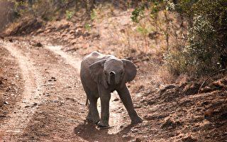 小象後腿遭鐵絲纏住 醫療團隊暖心救援