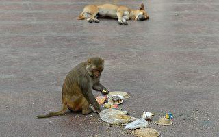 印度12天大婴儿遭猴子掳走 全身受伤致死