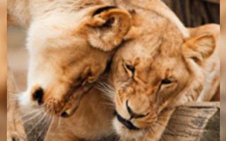 兩隻大貓超熱情 見到人類「乾媽」又親又抱
