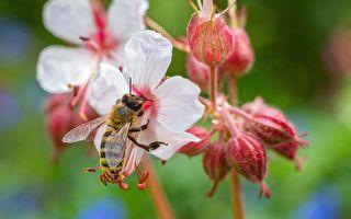 老爸DIY「大蜜蜂」花圃示範「異花授粉」