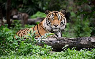 2年害13命 印度食人虎被射杀 诱饵竟是CK男士香水
