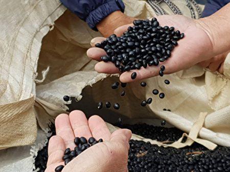 刚采收的新鲜黑豆