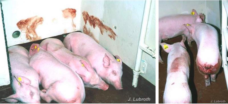 大陸養豬戶:豬瘟疫情嚴重 病豬恐已入市場