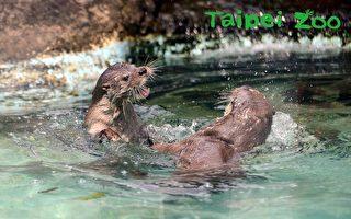動物名錯讀排行榜 台北動物園:歐亞水獺居首