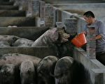 中共處理新冠疫情和非洲豬瘟驚人相似