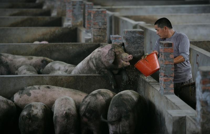 自8月初大陸首次出現非洲豬瘟,截至12月6日,累計撲殺生豬超過63萬頭。圖為重慶一家養豬場。(China Photos/Getty Images)