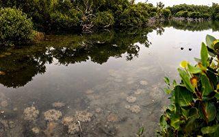 台湾水母湖之美 高雄林园赏缤纷仙后水母