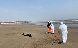 罕見長吻真海豚擱淺金門海灘 死因不明