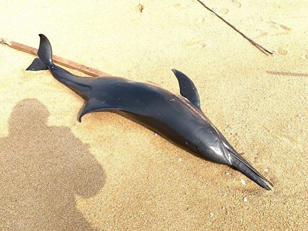 罕见长吻真海豚搁浅金门海滩 死因不明