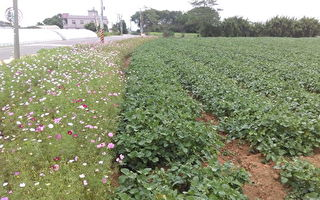 桃园地区黑豆种植423公顷  种植栽培技术提升