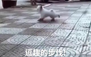 红耳狗狗街上漫步 华丽舞姿令人目不转睛