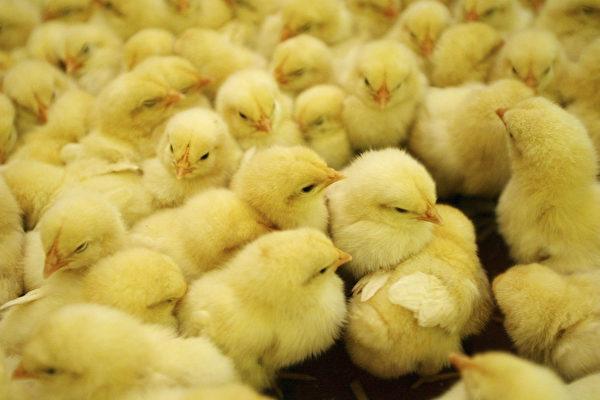 """全球首创""""不杀生""""鸡蛋 避免扑杀雄性小鸡"""