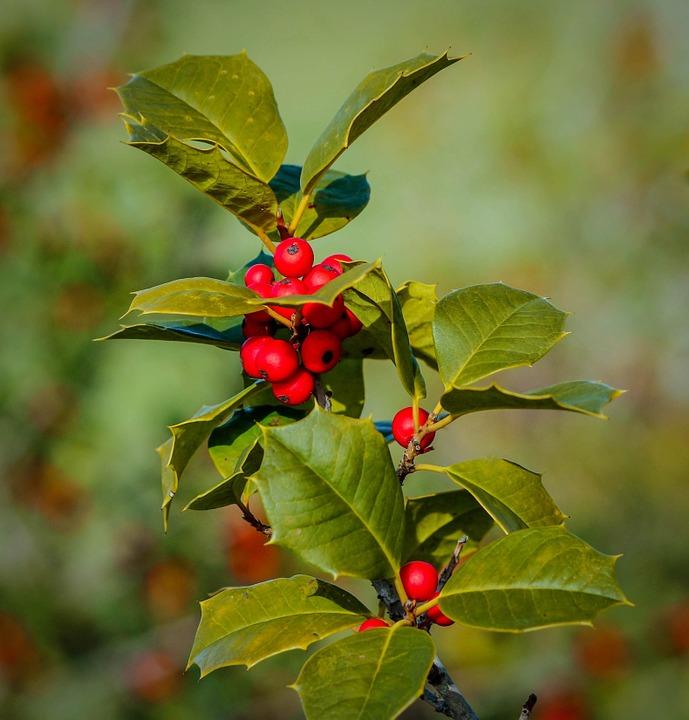 冬青樹是西方文化中跨冬迎新的代表物之一。(pixabay)
