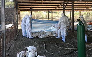 鹅场爆发禽流感  桃园平镇扑杀1169只鹅