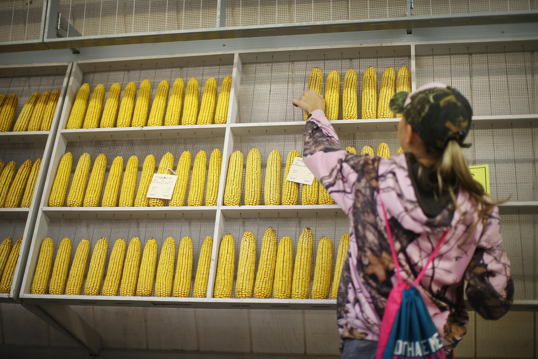 知情人士稱,除了汽車及大豆外,中共當局計劃重新購買美國玉米,以緩解與美國的貿易緊張局勢。圖為美國愛荷華州玉米。(Scott Olson/Getty Images)