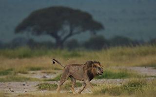 20只鬣狗围攻一只狮子 你猜结局如何?