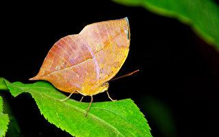 这种蝴蝶和蛾会伪装成枯叶 比真的还像