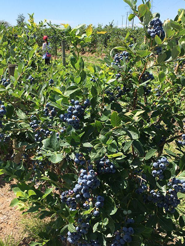卑詩省的農業產出很高,圖為一處藍莓採摘場。(大紀元)