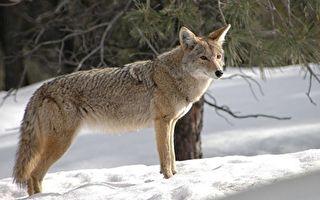 麻州郊狼襲擊寵物狗