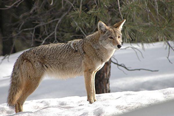 麻州郊狼袭击宠物狗