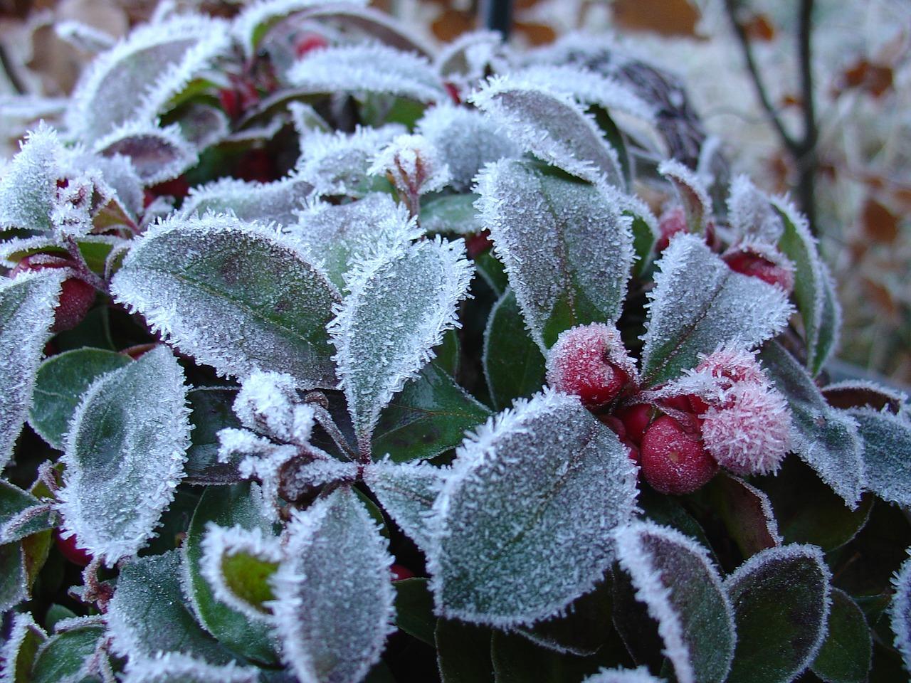 萬年枝、長生樹,冬青枝上雪花香。(pixabay)