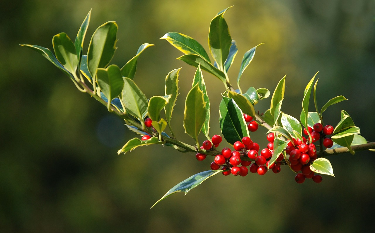萬年枝、長生樹冬青是跨冬迎新的代表植物之一。(pixabay)
