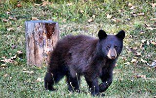 麻州伯靈頓城區出現黑熊