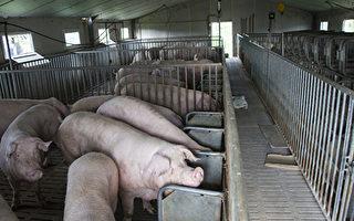 江蘇再現非洲豬瘟 1369頭生豬死亡