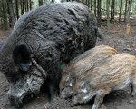 為防非洲豬瘟 丹麥在德國邊境建圍欄