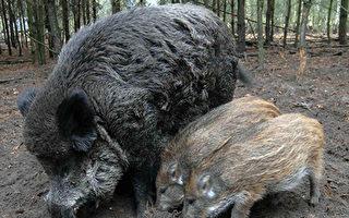 为防非洲猪瘟 丹麦在德国边境建围栏
