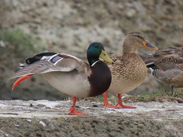 新年賞鳥 綠頭鴨夫妻與黑面琵鷺萌樣討喜