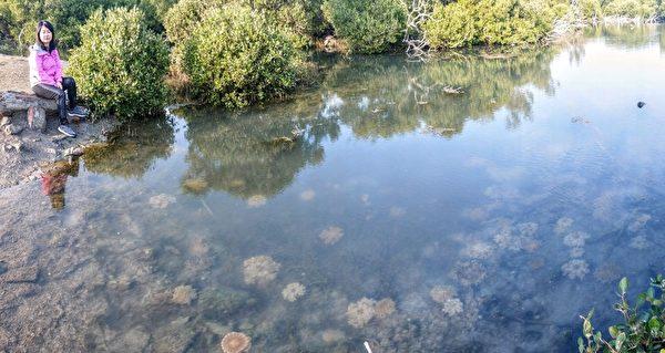 台灣水母湖之美 高雄林園賞繽紛仙后水母