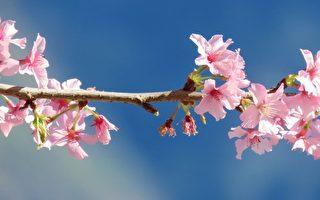 惊艳!台阿里山河津樱绽放 满树花朵迎新年