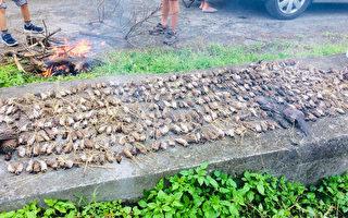 怪事!台東逾千隻鳥類屍體散布稻田間