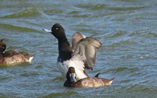 【视频】罕见斑背潜鸭群游 红嘴鸥抓水针鱼