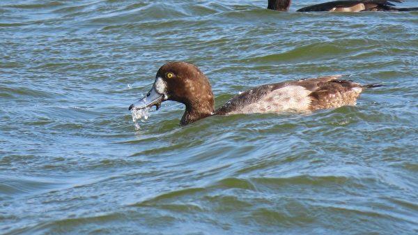 【視頻】罕見斑背潛鴨群游 紅嘴鷗抓水針魚
