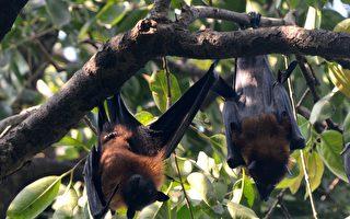 新州十多人遭蝙蝠袭击 卫生厅向民众发警告