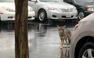 南加雨不停 郊狼停車場出沒