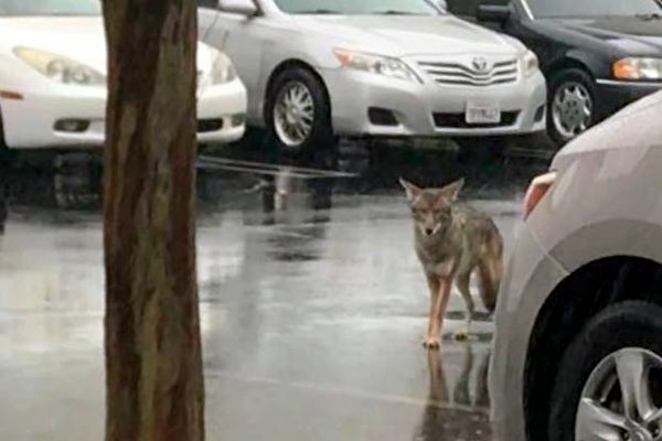 南加雨不停 郊狼停车场出没