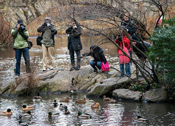 紐約市中央公園池塘去年來了一隻罕見的鴛鴦,引來攝影師拍照。(DON EMMERT/AFP/Getty Images)