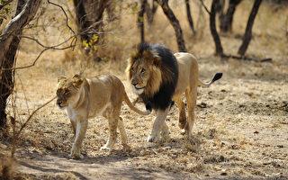 南非度假小屋四周有77隻獅子 你敢住嗎?